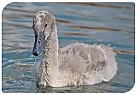 Swan271442_640_2