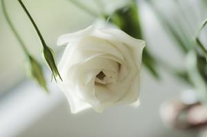 Rose456561_640