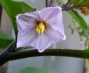 プランターの茄子の花