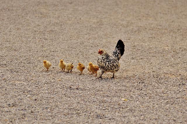 Chicks1572364_640
