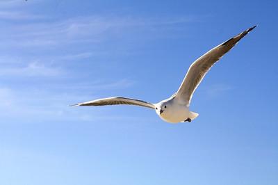 Gull456727_640_2