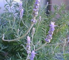 ラベンダーの乱れ咲き