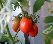プランターのトマト