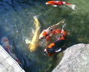 美しい鯉たち