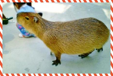 B2kapibara